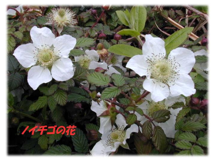 高山植物の花 (色別)