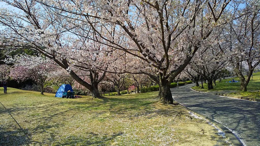 旭公園の桜 🌸